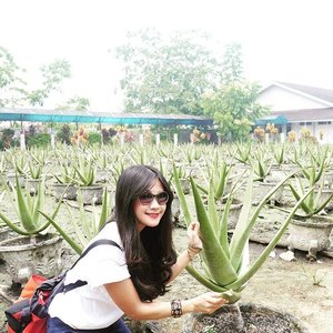 If you come to Pontianak, you should visit Aloe Vera Center. Aloe Vera Center is located at Budi Utomo Street, exactly in Siantan Hulu, North Pontianak.You can find Aloe with giant size. Just imagine, every bark can weigh 1.2 kilograms. In Pontianak, Aloe Vera is known as 'Lidah Buaya'.In this area, we can see how Aloe Vera is made into flour and various snacks and drinks such as dodol and chips of Aloe Vera. And also Aloe Vera is made for cosmetic products such as Aloe Vera mask, Aloe Vera shampoo and tooth paste.#Aloevera #lidahbuaya #Pontianak #Kalimantan #WestBorneo #KalimantanBarat #culinary #kuliner #flora  #wonderfulIndonesia #PesonaIndonesia #pesonaPontianak #pesonaKhatulistiwa #tourism #Indonesiaonly #view #travel #traveling #traveler #ootd #tshirt #sunglasses #bag #Clozetteambassador #ClozetteID @clozetteID