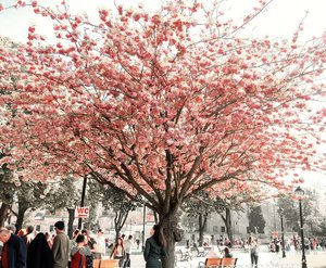 Pink Sakura in Turkey? Why not 😍😍So beautiful! Can't wait to see it another time.
