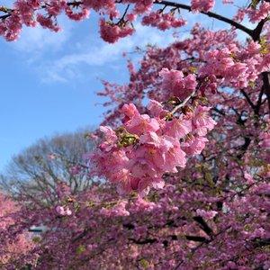 Sneak peak to the early bloomers, blissful view🌸 ...#exploretocreate #clozetteid #shotbystevie #sakura #spring #tokyo #shotoniphone #nofilter