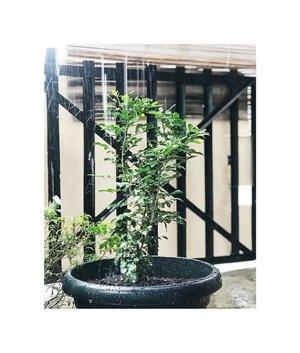 Self healing. Akhir-akhir ini suka banget lihat tanaman dirumah bisa tumbuh subur. Meskipun tanaman lengkeng yang diidam-idamkan belum berbuah juga. Gimana mau berbuah, baru berbunga eh sudah keguyur hujan, rontoklah bunganya. Tapi gak papa yang penting dia sehat. Hehehe. ..Melihat tanaman diguyur hujan, melihat mereka basah itu koq sepertinya menenangkan ya. Bisa memunculkan hormon oksitosin yang bisa bikin bahagia. ..Klise ya, tapi beneran deh...itu sungguh bikin seneng. Tentu saja tanaman yang tumbuh subur dengan daun-daun hijaunya ya. ..Btw ini pohon bunga kemuning, new comer nih, pohon kesukaan mama karena wangi bunganya semerbak. Kata mama supaya kalo berbunga harumnya sampai ke dalam rumah. Dan lagi-lagi mencium bau harumnya juga menenangkan. Masyaallah tabarakallah....tumbuh subur terus ya 😍😍. ..#plants #bloggerlifestyle #clozetteid #bloggerperempuan #momblogger #tanaman