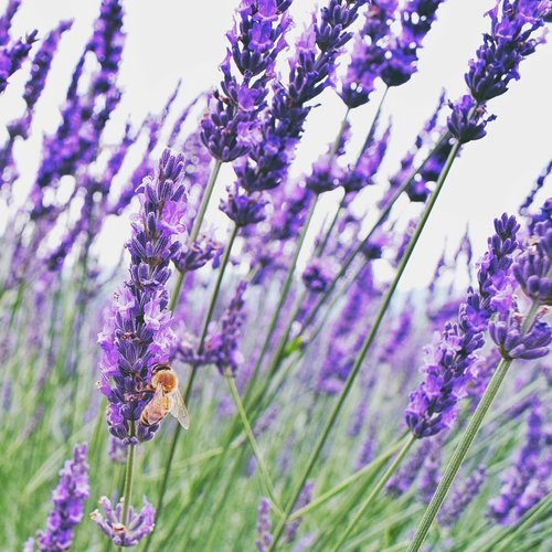 "<div class=""photoCaption"">""The flower doesn't dream of the bee, it blossoms and the bee comes."" Beautiful lavender flowers at  <a class=""pink-url"" target=""_blank"" href=""http://m.clozette.co.id/search/query?term=oishipark&siteseach=Submit"">#oishipark</a> 🌿 I visited the park on July which is the perfect time for lavender flowers. Can someone take me back to  <a class=""pink-url"" target=""_blank"" href=""http://m.clozette.co.id/search/query?term=japan?&siteseach=Submit"">#japan?</a> 😂🙏<br /> . .<br /> .<br />  <a class=""pink-url"" target=""_blank"" href=""http://m.clozette.co.id/search/query?term=kawaguchi&siteseach=Submit"">#kawaguchi</a>  <a class=""pink-url"" target=""_blank"" href=""http://m.clozette.co.id/search/query?term=kawaguchiko&siteseach=Submit"">#kawaguchiko</a>  <a class=""pink-url"" target=""_blank"" href=""http://m.clozette.co.id/search/query?term=fuji&siteseach=Submit"">#fuji</a>  <a class=""pink-url"" target=""_blank"" href=""http://m.clozette.co.id/search/query?term=mountfuji&siteseach=Submit"">#mountfuji</a>  <a class=""pink-url"" target=""_blank"" href=""http://m.clozette.co.id/search/query?term=cathyinjp&siteseach=Submit"">#cathyinjp</a>  <a class=""pink-url"" target=""_blank"" href=""http://m.clozette.co.id/search/query?term=cathytravelogue&siteseach=Submit"">#cathytravelogue</a>  <a class=""pink-url"" target=""_blank"" href=""http://m.clozette.co.id/search/query?term=jntoid&siteseach=Submit"">#jntoid</a>  <a class=""pink-url"" target=""_blank"" href=""http://m.clozette.co.id/search/query?term=clozetteid&siteseach=Submit"">#clozetteid</a></div>"